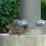 Fox Squirrel - Parking Lot