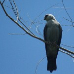 Mississippi Kite - A First
