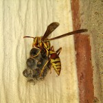 Paper Wasp - Nest Building