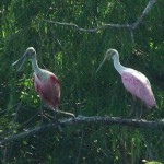 Roseate Spoonbill - Exotic Pink