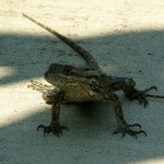 Texas Spiny Lizard - Bike Trail