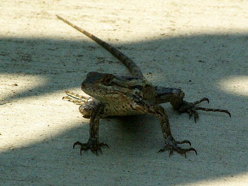Muchos lagartos! Texasspinylizard-biketrail-001