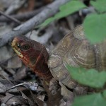 Three-toed Box Turtle - Redhead