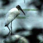 Wood Stork - A First