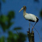 Wood Stork - Discovered