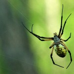 Black and Yellow Garden Spider - Huge