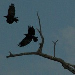 American Crow - Leaving