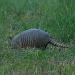 Armadillo - Early Morning Forage