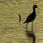 Black-necked Stilt - Lemmon Lake