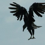 Black Vulture - Collecting Scraps