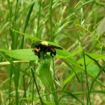Robber Fly - Captured Ladybug