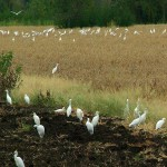 Cattle Egret - Grasshopper Bounty
