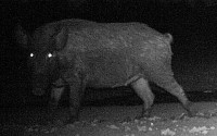 Feral Hog - Night Feeders
