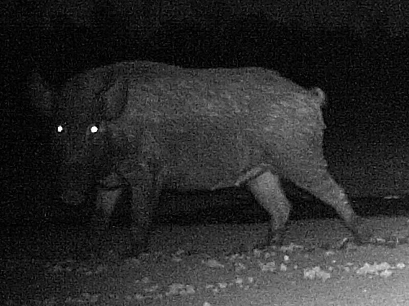 Feral Hog - Night Feeders