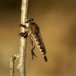 Robber Fly - The Hunter