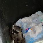 Raccoon - Persistent