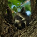 Raccoon - Rascal at Dusk