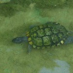 Red-eared Slider - Walking Under Water