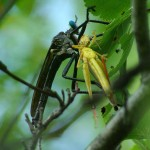 Robber Fly - Grabbed Grasshopper