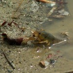 Southern Plains Crayfish - Making a Splash
