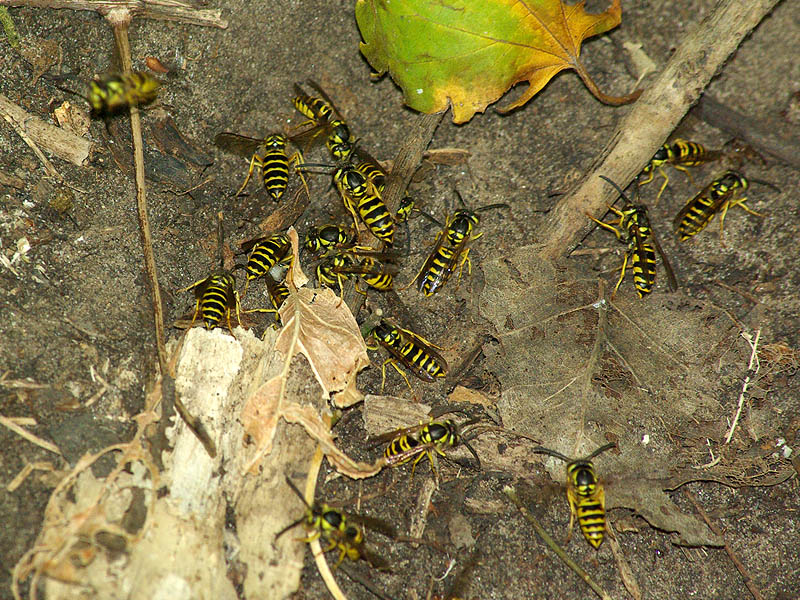 Underground Yellow Jackets