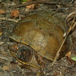 Three-toed Box Turtle - Roaming