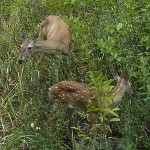 White-tailed Deer - Poachers?