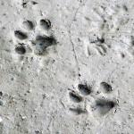 Bobcat - Tracks