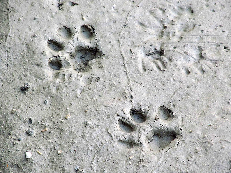 How to Identify Coyote Tracks  Animals  momme