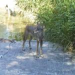Coyote - Frisco's Grand Park