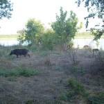 Feral Hog - Population Explosion