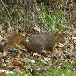 Fox Squirrel - Swimmer