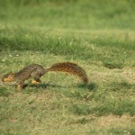 Fox Squirrel - Waterlogged