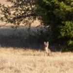 Gray Fox - Charming