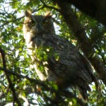 Great Horned Owl - Just a Glimpse