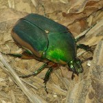 Green June Beetle - Life Size