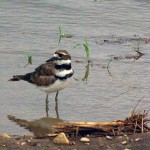 Killdeer - Preening