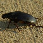 Predaceous Diving Beetle - Out of Water