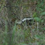 Striped Skunk - Camera Shy