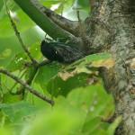 Swamp Cicada - Noisy