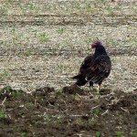 Turkey Vulture - Retreating