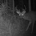 White-tailed Deer - First Buck