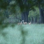 White-tailed Deer - In Person