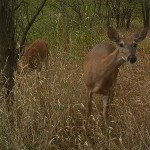 White-tailed Deer - No Hogs