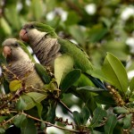 Announcement - Parakeet Week