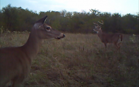 White-tailed Deer - Grand Park Video