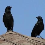 American Crow - Ruckus