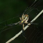 Black and Yellow Garden Spider - McCommas
