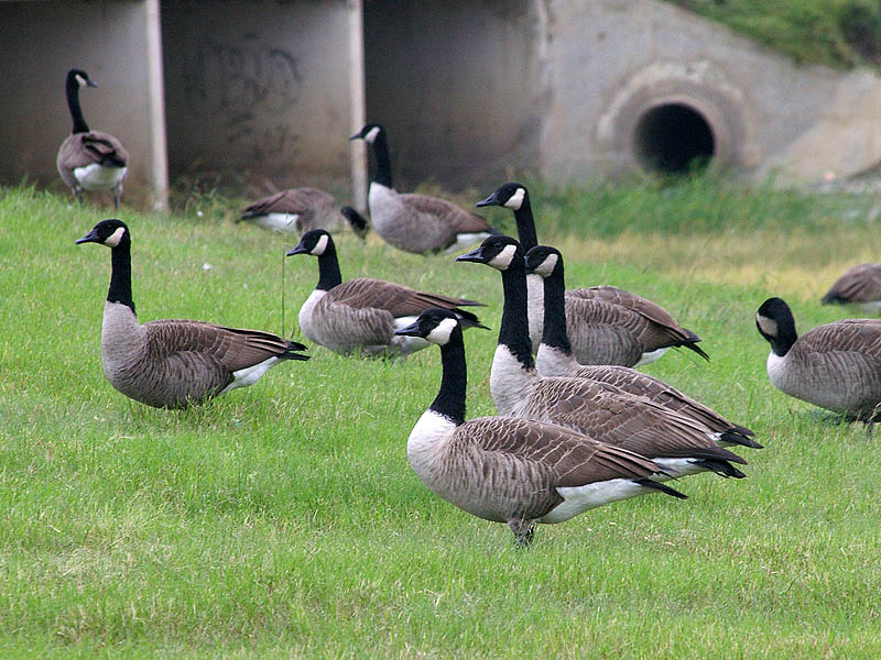 Canada Goose - Unusual Congregation