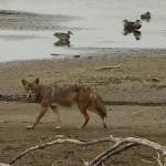 Coyote - VCDB